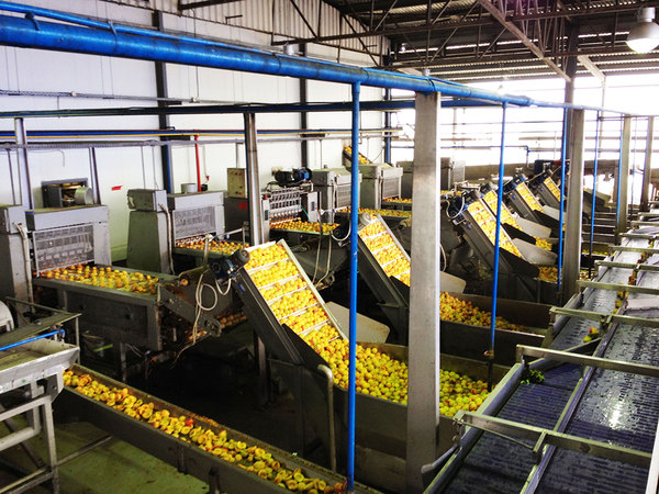 PROCESSING LINES FOR PEACH - APRICOT - CHERRY